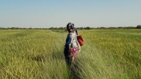 La valle del riso ai confini del Sahara